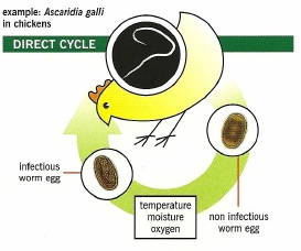 direct life cycle of worms