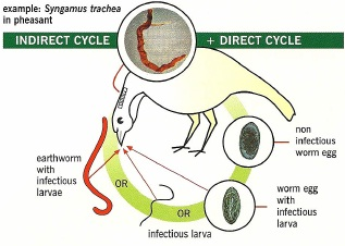 indirect life cycle of worms