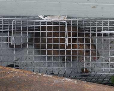 rat in humane trap