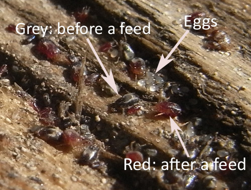 red mite in a crack on a chickens perch