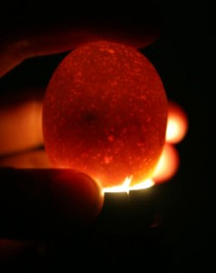 candling-eggs