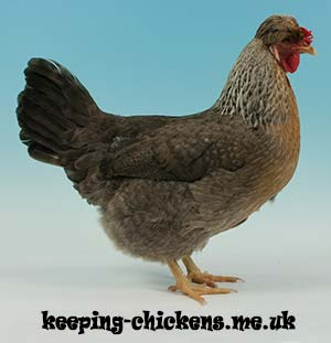 Chicken Breeds with Pictures UK | Keeping Chickens: A
