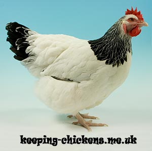 Light Sussex Chicken Breed