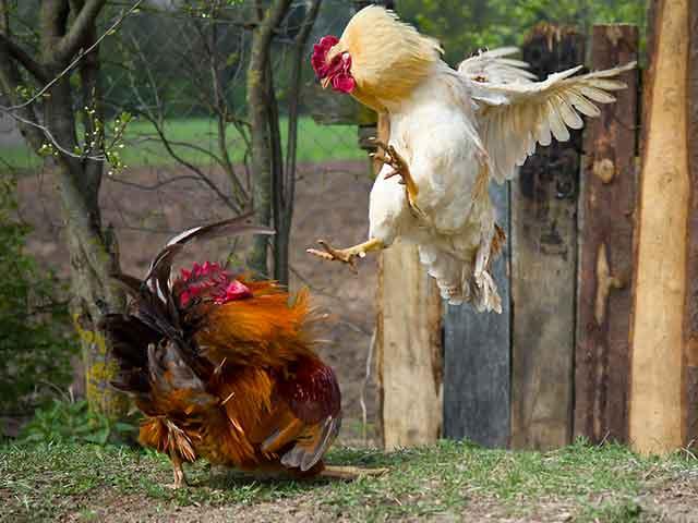 Cockerels-fighting