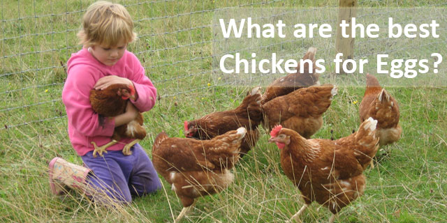 Chickens for Eggs