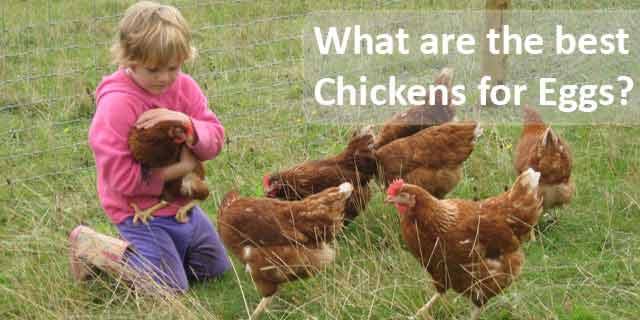 Best-chickens-for-eggs1